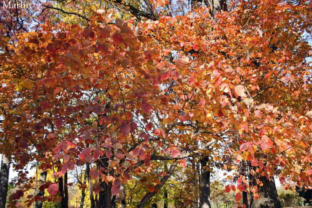 American Smoke Tree - Cotinus obovatus - North American ...