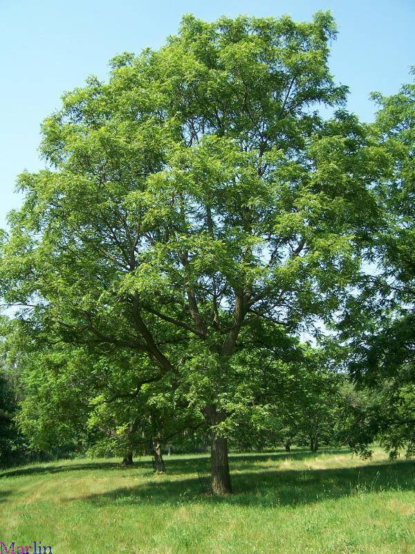 Arizona Walnut Tree