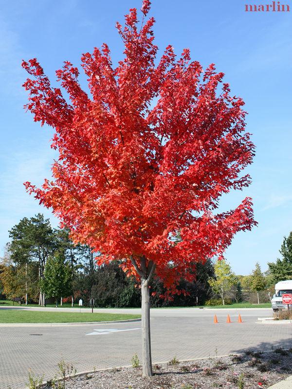 Autumn Blaze Maple Acer X Freemanii Autumn Blaze
