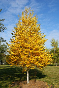 Asian White Birch - Betula platyphylla