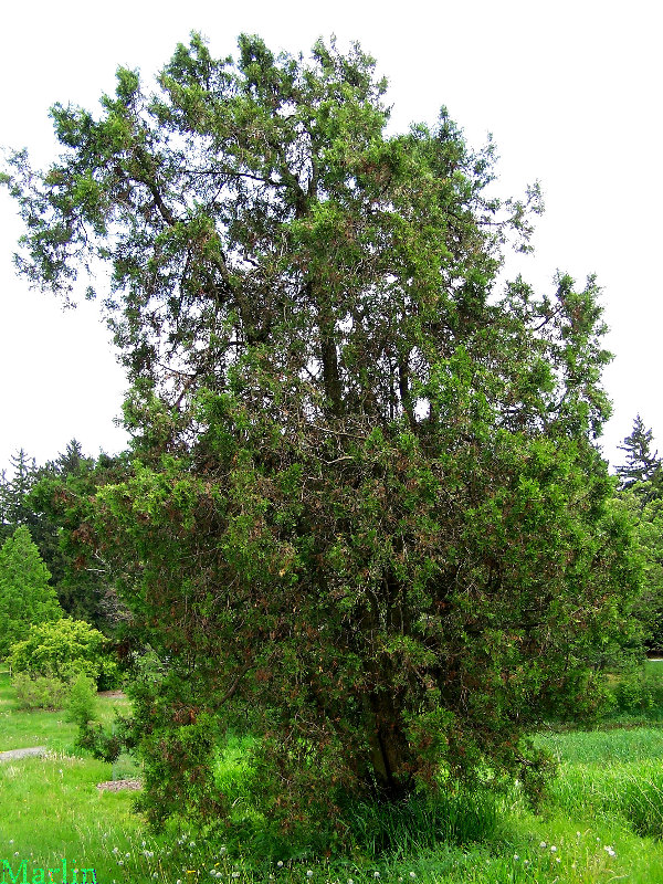 Small Cedar Tree Varieties ~ This is what it s called cedar tree varieties