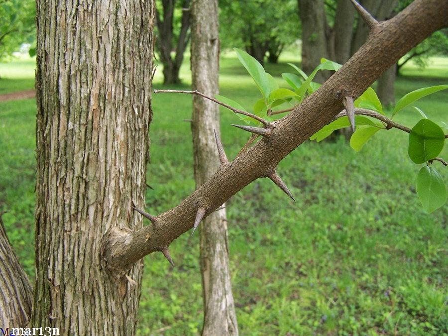 Silkworm thorn cudrania tricuspidata for Asia cuisine osage beach mo