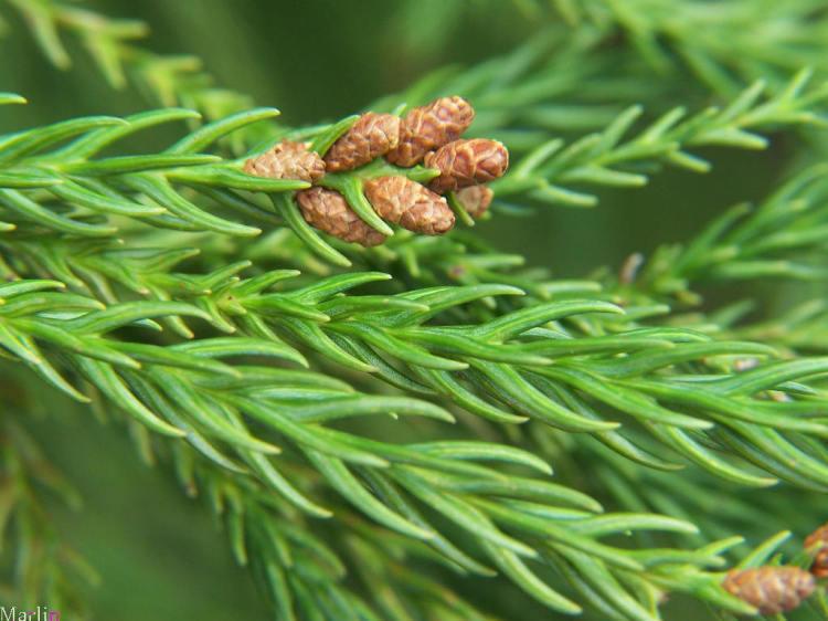 japanese cedar cryptomeria japonica north american