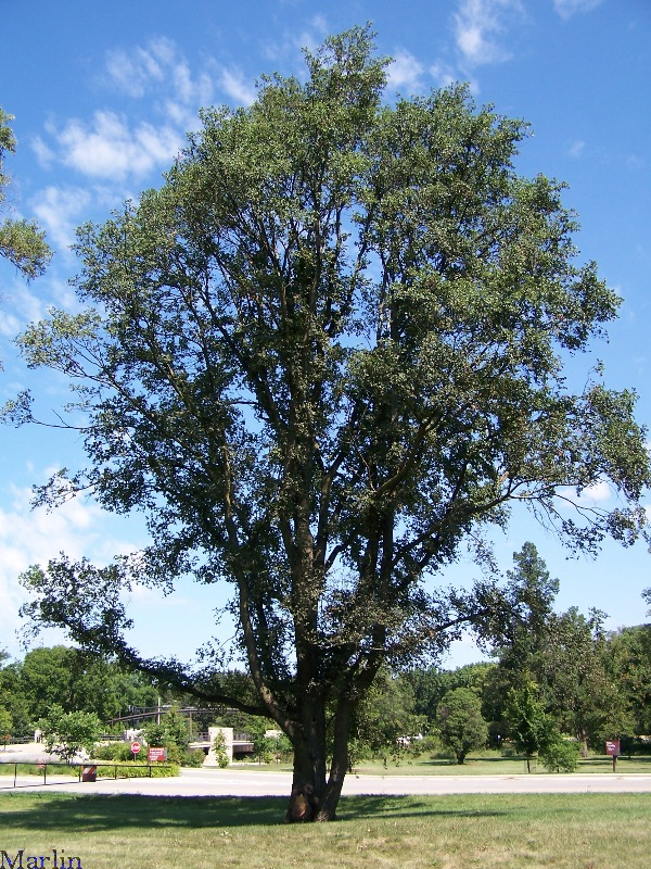 Image: English Elm