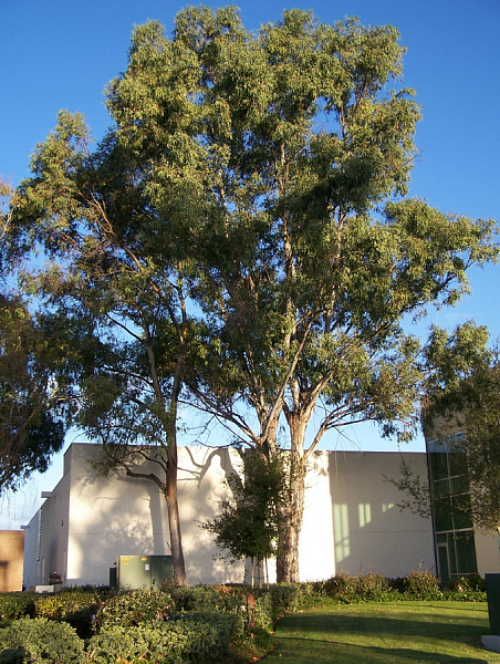 mature Eucalyptus tree