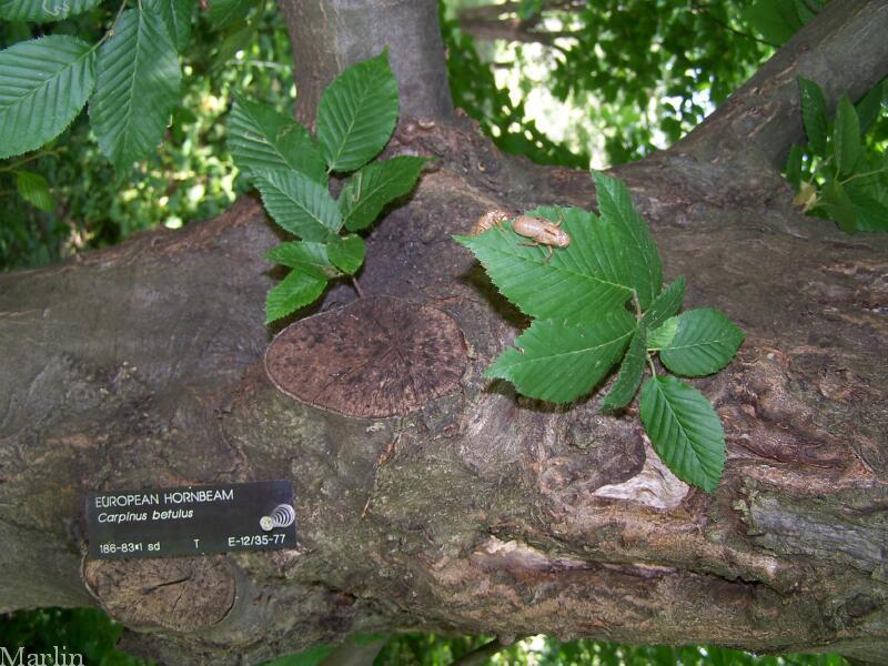 European hornbeam bark and foliage
