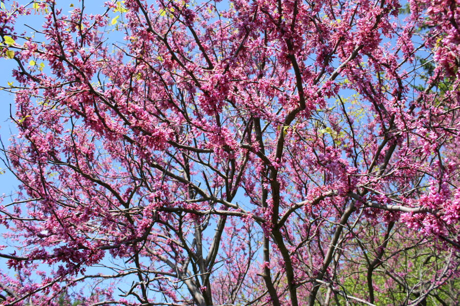 Texas Redbud Blossoms