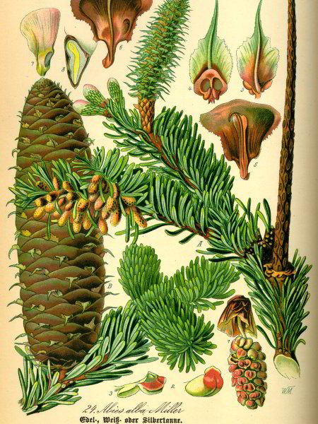 Silver Fir anatomy illustration