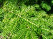 Manchurian Fir - Abies nephrolepis