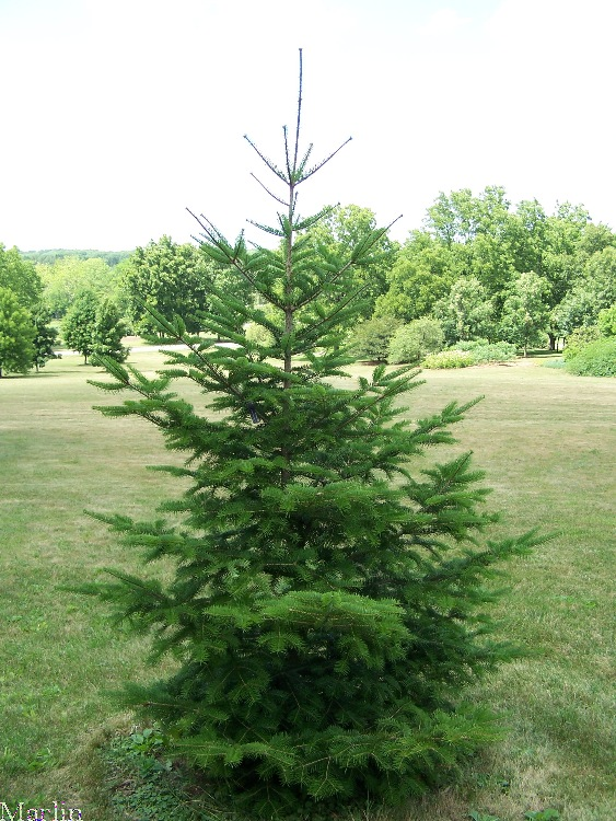 Needle Fir tree