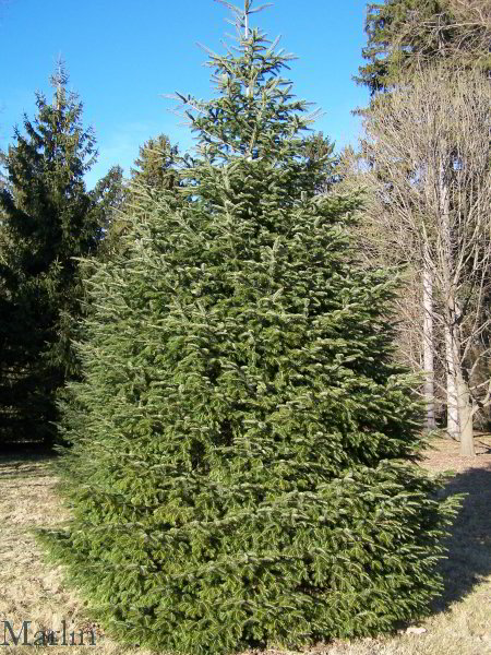 European Silver Fir Tree