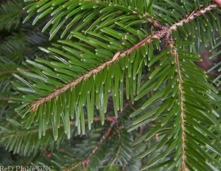 European Silver Fir Foliage