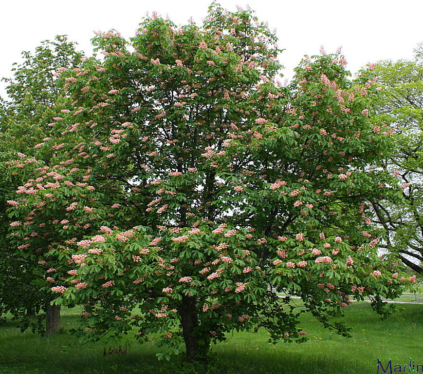 Damask Red Horse Chestnut
