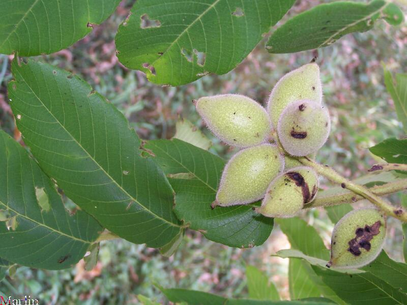 Japanese Walnuts (fruit)