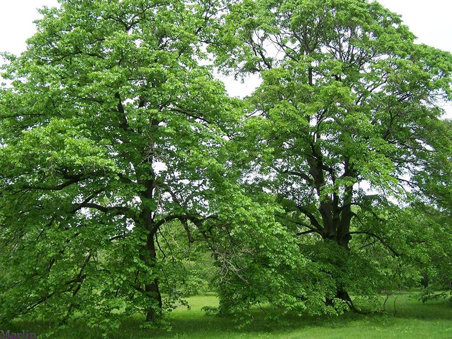 American Basswood Or Linden Tilia Americana L North