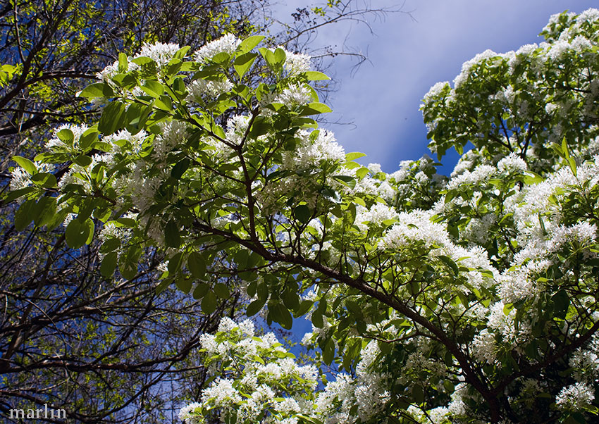 Chinese Fringe Tree Flowers and Foliage