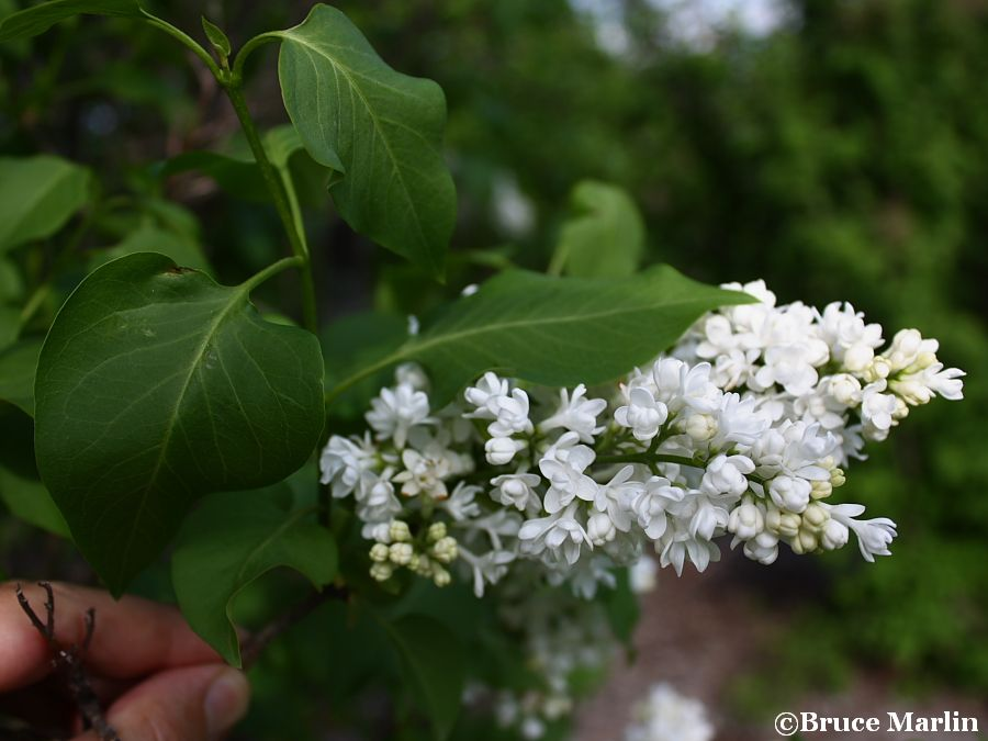 General Sheridan Common Lilac