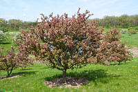 Adams Crabapple - Malus 'Adams'