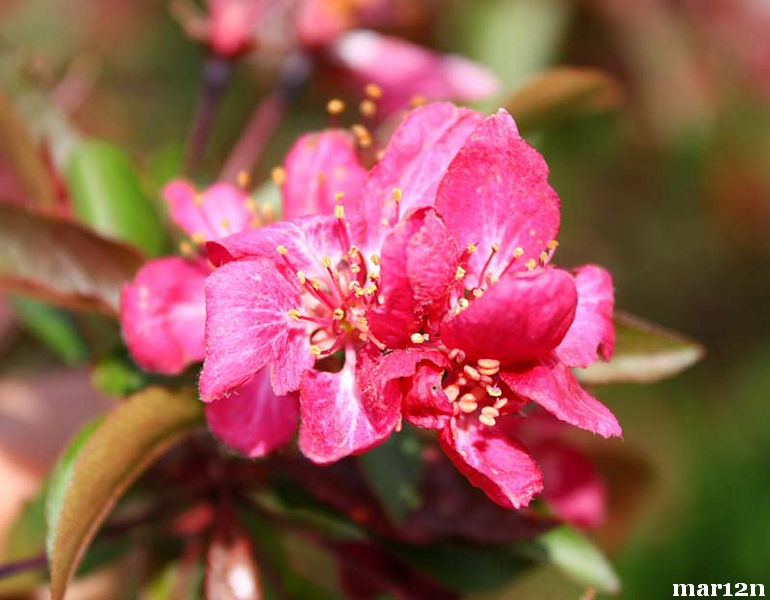 Burgundy Crabapple blossoms