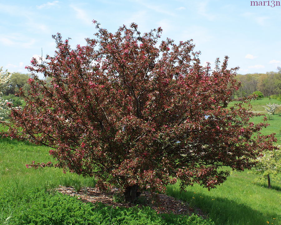 Burgundy Crabapple tree