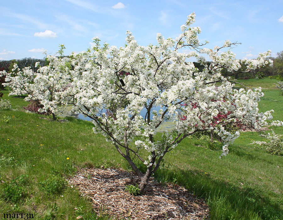 David Crabapple - Malus 'David'