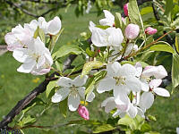 Ormiston Roy Crabapple - Malus 'Ormiston Roy'