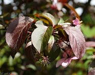 Perfect Purple™ Crabapple - Malus 'Coppurple'