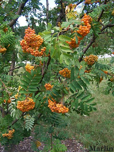 American Mountain-ash Fruit and Foliage