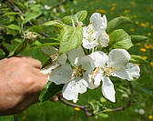 Common Apple - Malus pumila