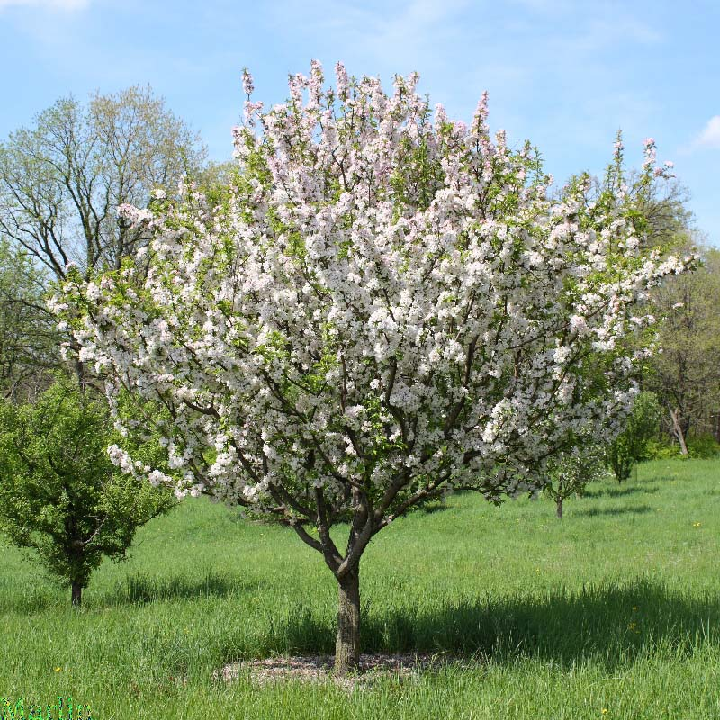 Doubleflower Chinese Flowering Crabapple