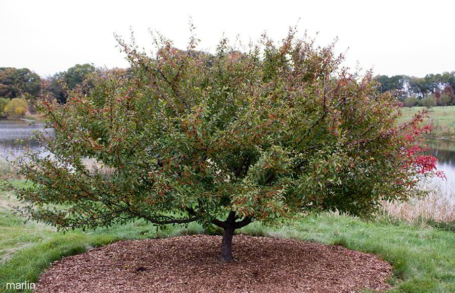 Hall Crabapple late summer