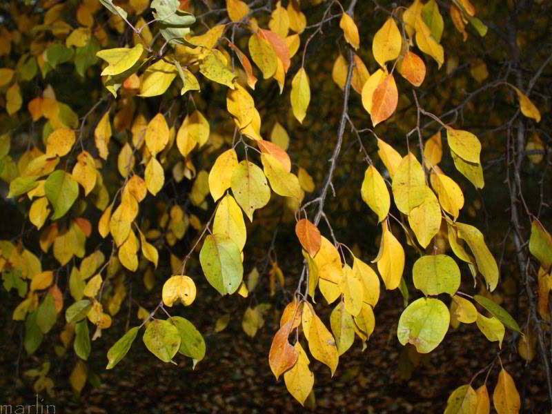Manchurian Crabapple Fall Foliage