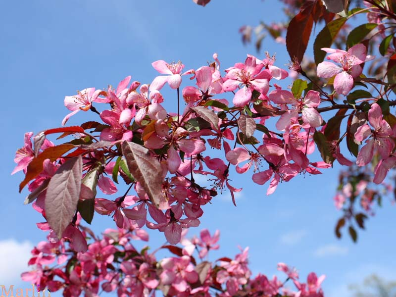 Maria Crabapple Blossoms