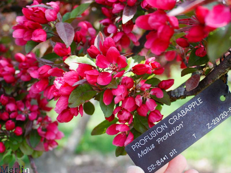 Profusion Crabapple blossoms