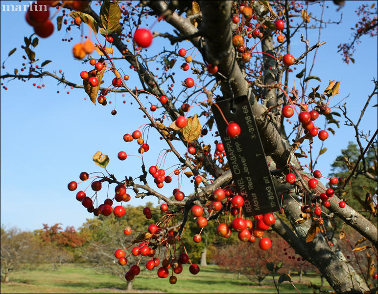 Red Jewel Crabapple fruit in winter