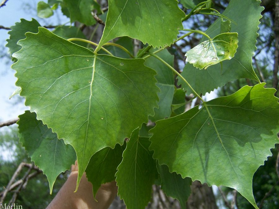 Cottonwood Foliage