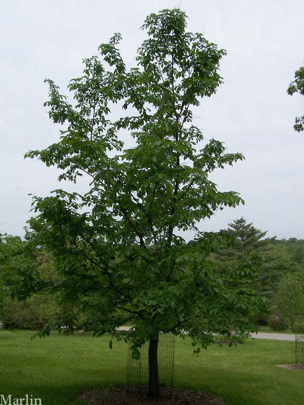 lacebark elm tree pictures. Corkbark Elm Tree