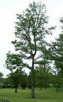 Holland Elm