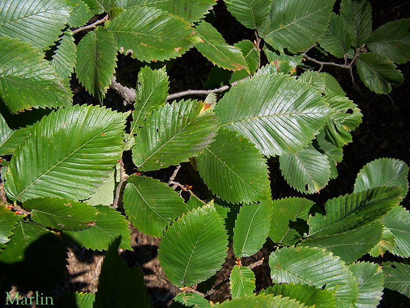 Rock Elm Summer Foliage