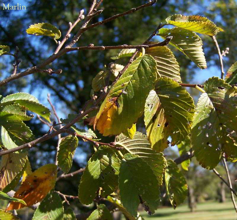 Scotch Elm Foliage
