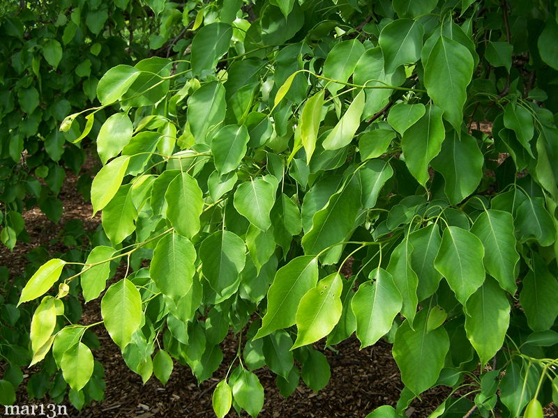 Ussurian pear summer foliage