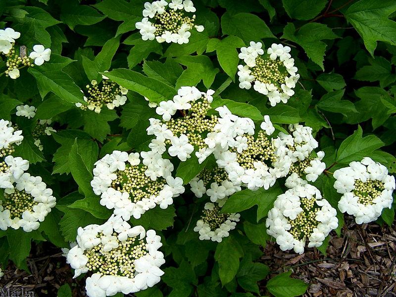 Sargent S Cranberry Bush Viburnum Sargentii North