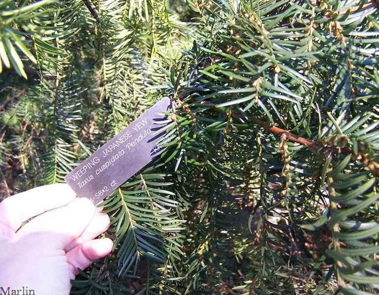 Japanese Yew Taxus Cuspidata Var Pendula North