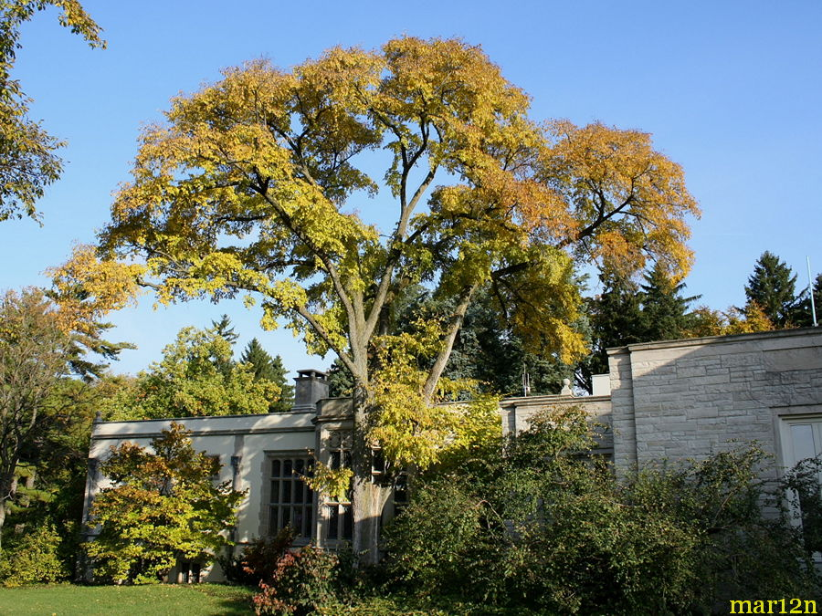Accolade Elm in fall colors