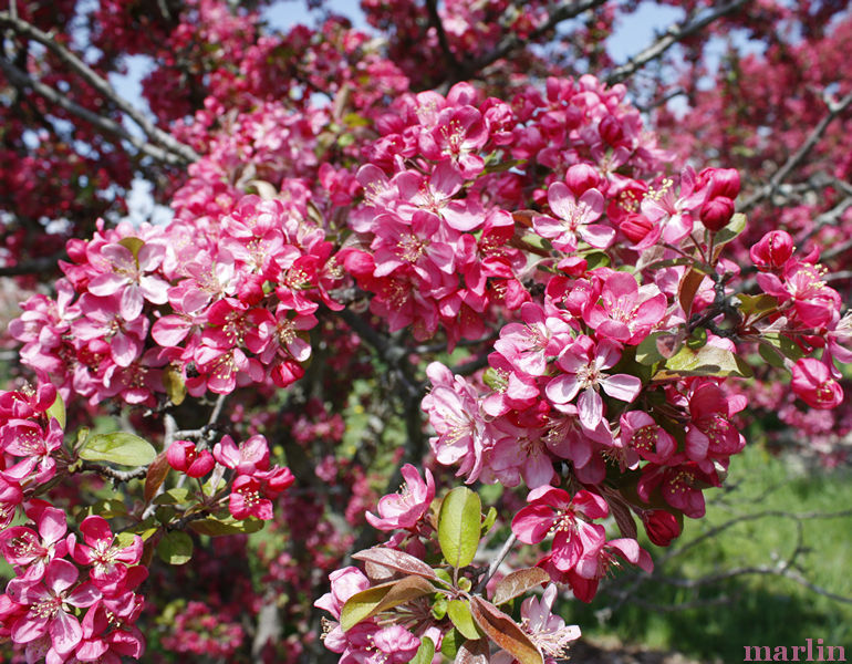 Adams Crabapple Flowers