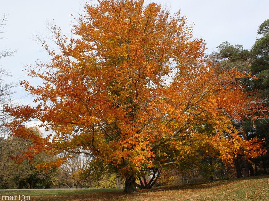 American beech tree fagus grandifolia north