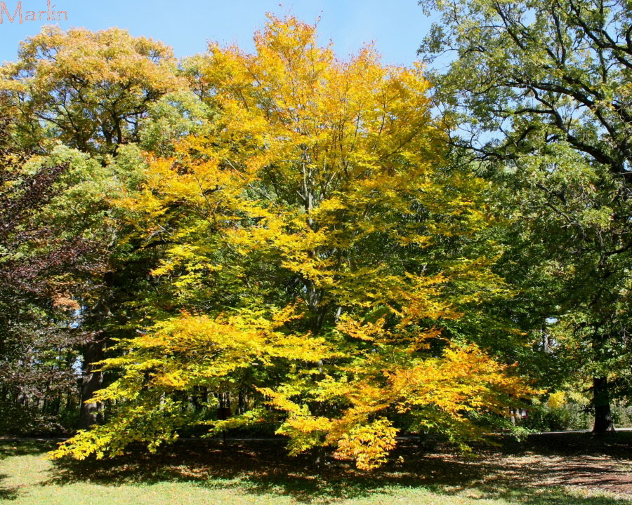 What Color Is Beech Wood ~ American beech tree fagus grandifolia north