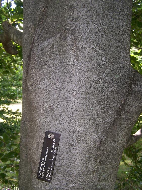 copper beech - fagus sylvatica  u0026 39 atropunicea u0026 39