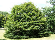 Cut-leaved European Beech