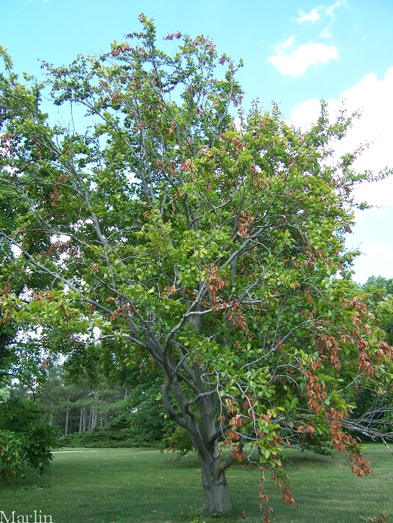 European Beech Habit